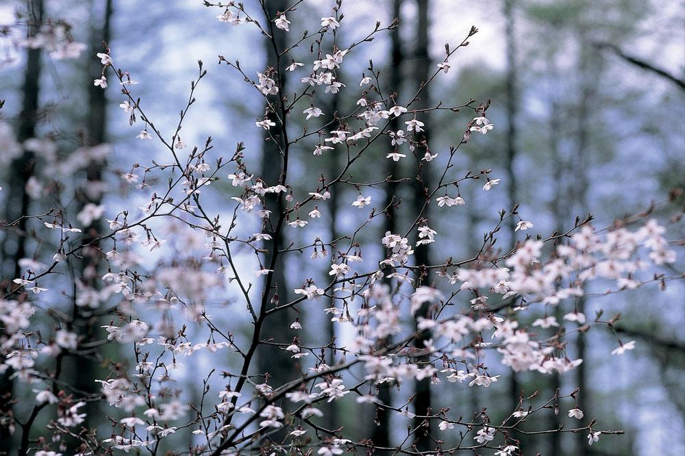 フジザクラ[富士桜・バラ科]
