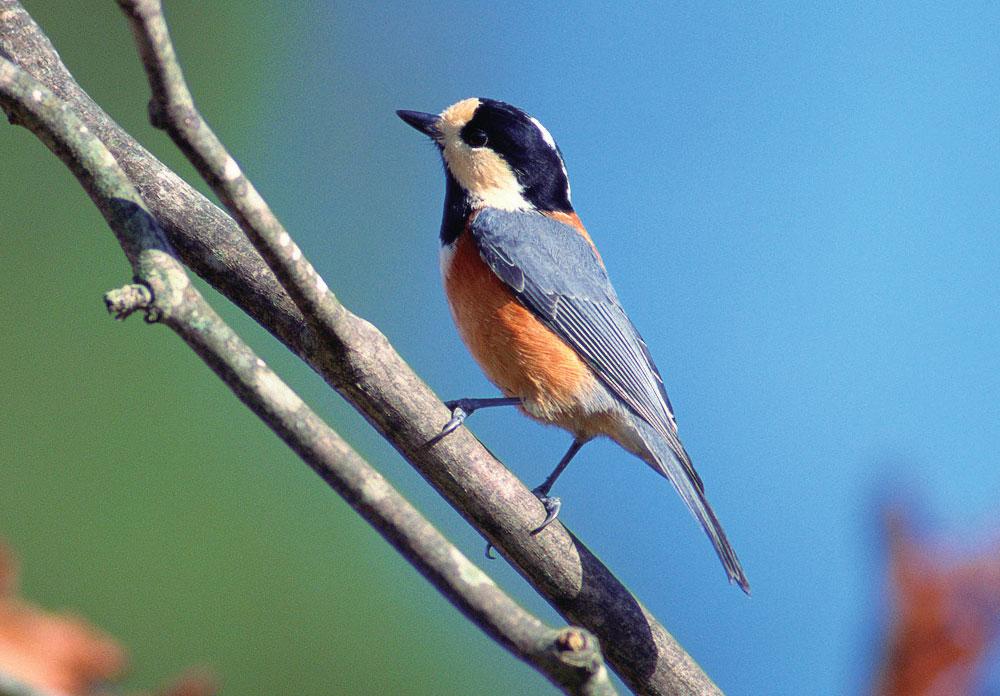 ヤマガラ[山啄木鳥]